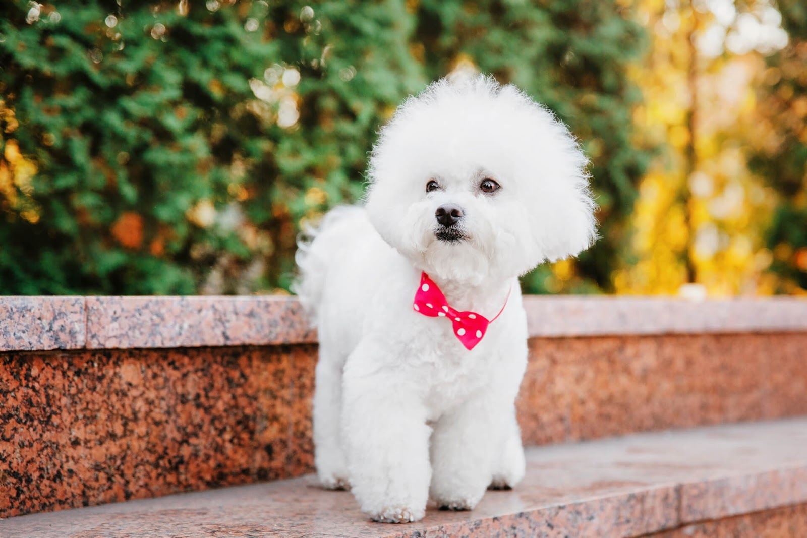Bichon Firse with bow tie