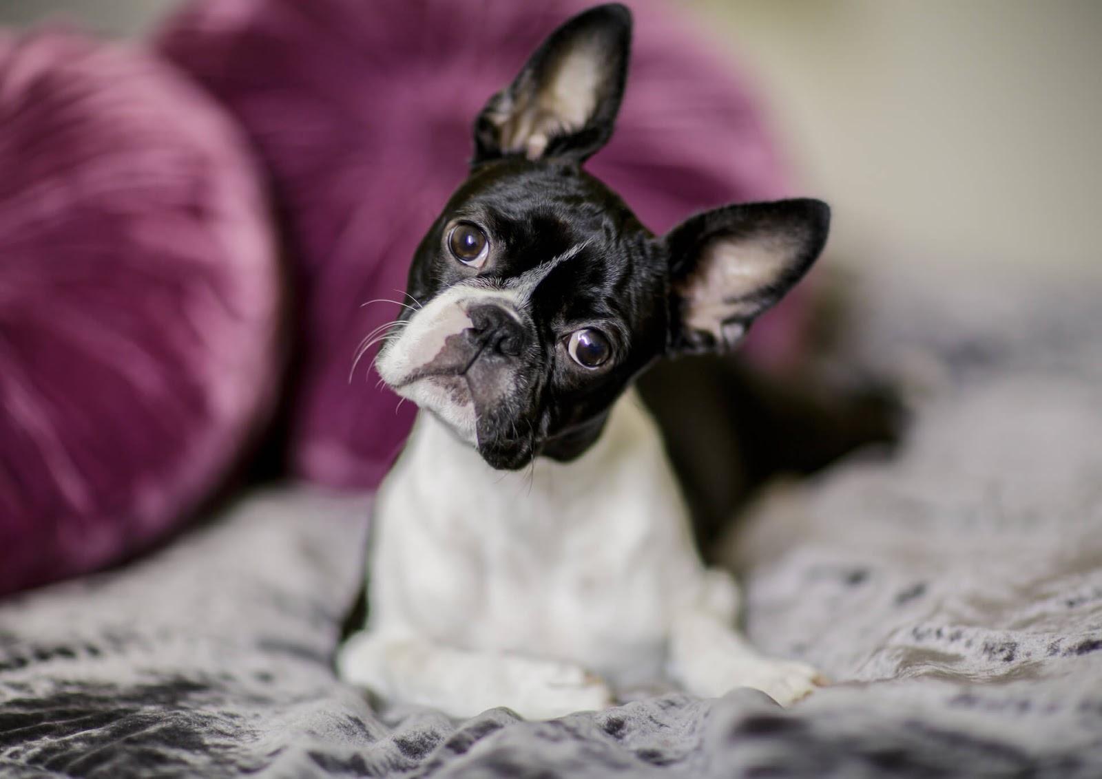 Boston Terrier with head tilt