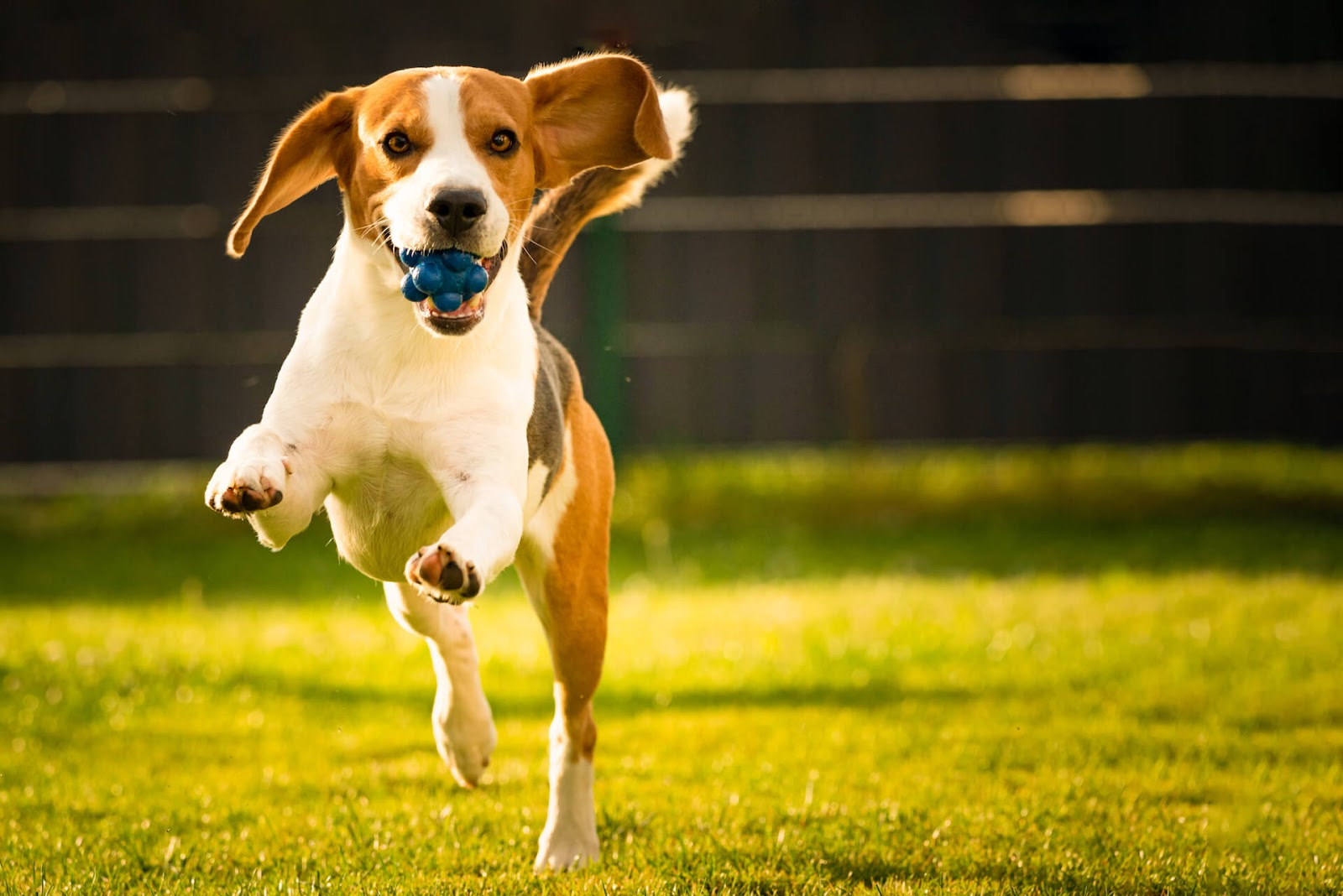 Beagle playing with a ball