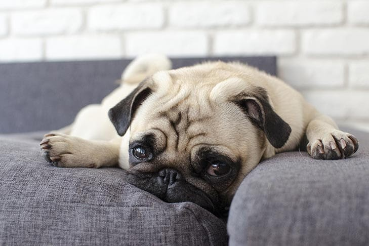 Pug laying on couch