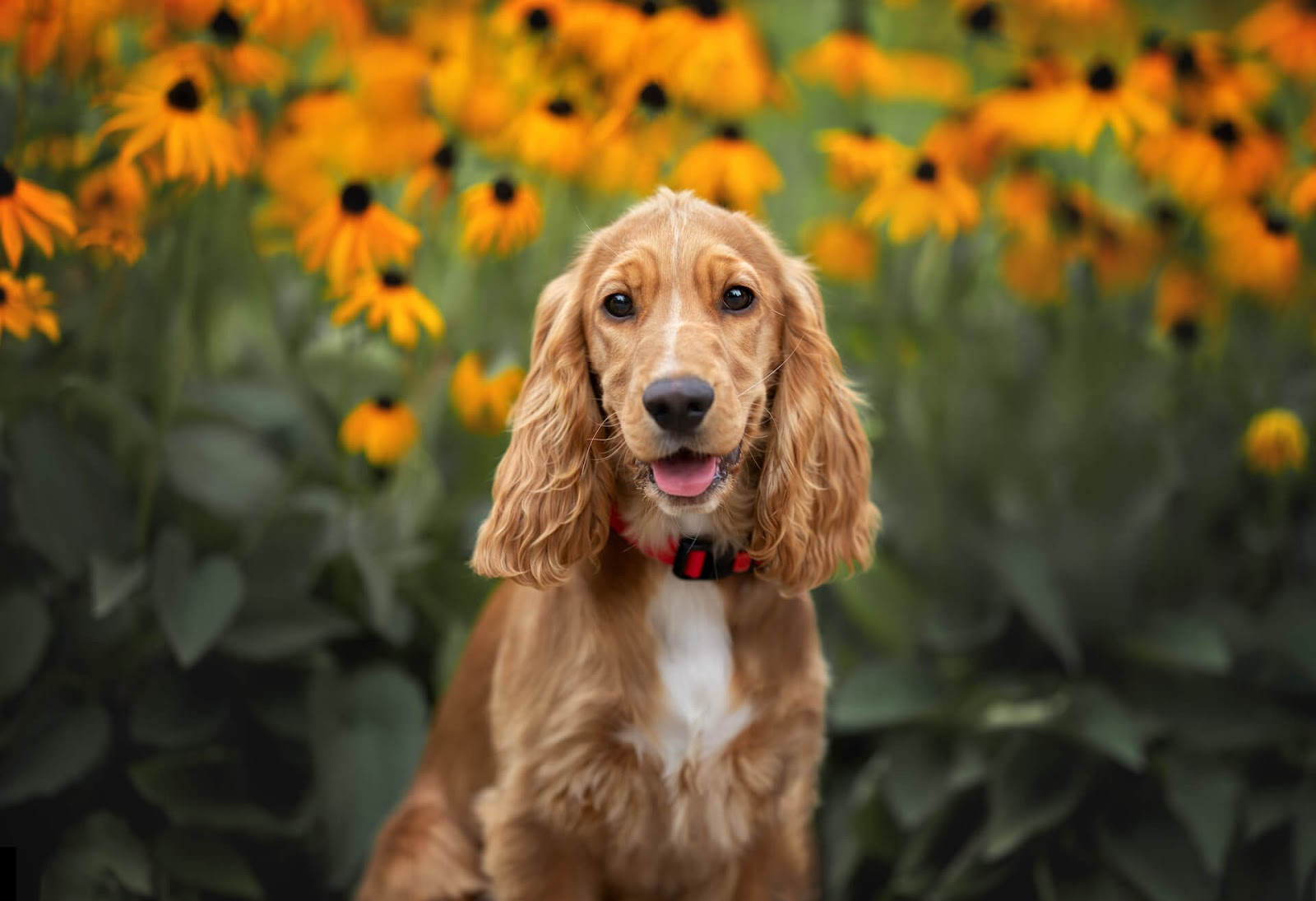Cocker Spaniel in a field of flowers