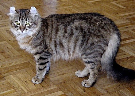 The American Curl