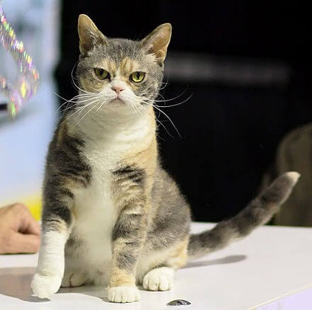 The American Wirehair