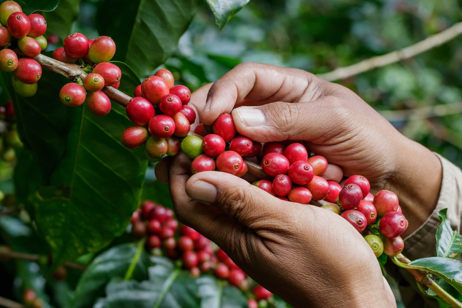 Hand picking off red coffee berries