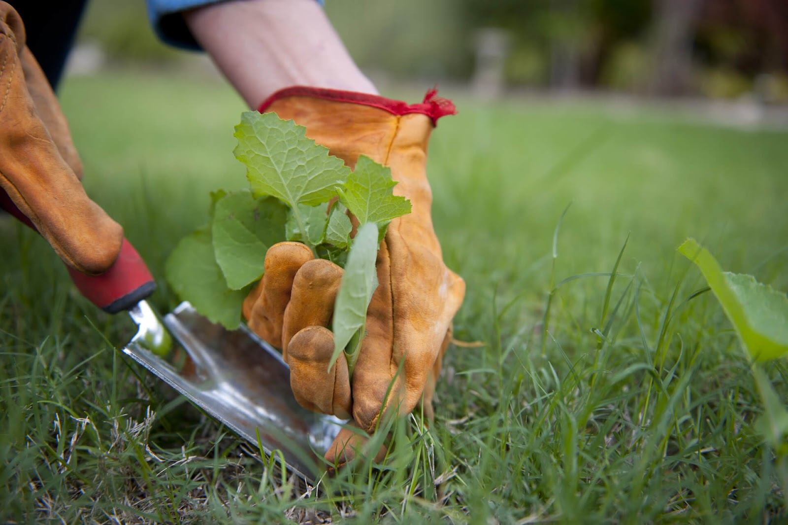 Hand pulling weeds out of the lawn