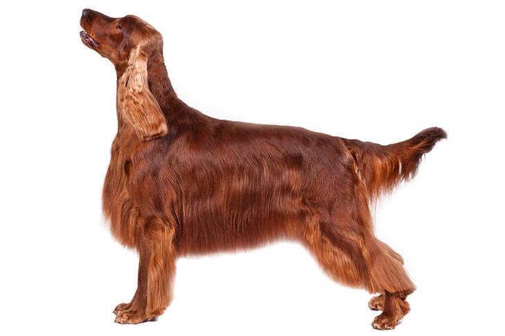 The Irish Setter