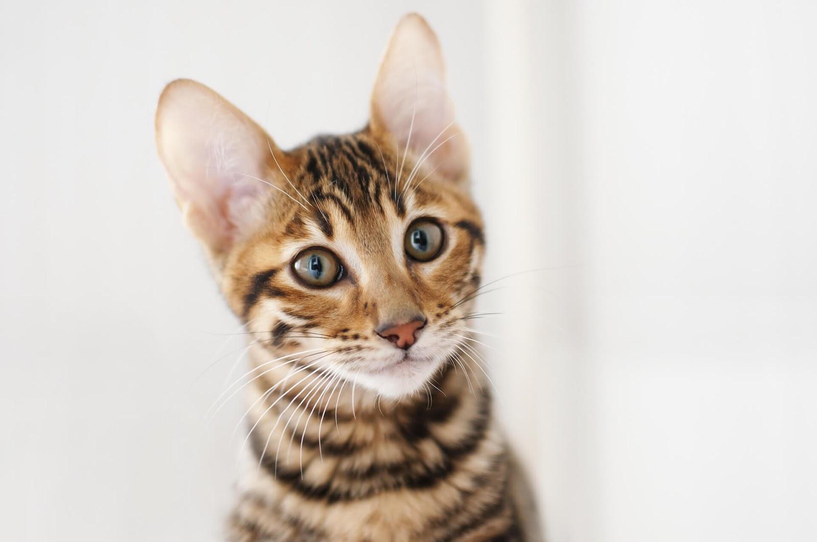 Brown tabby cat looking at camera