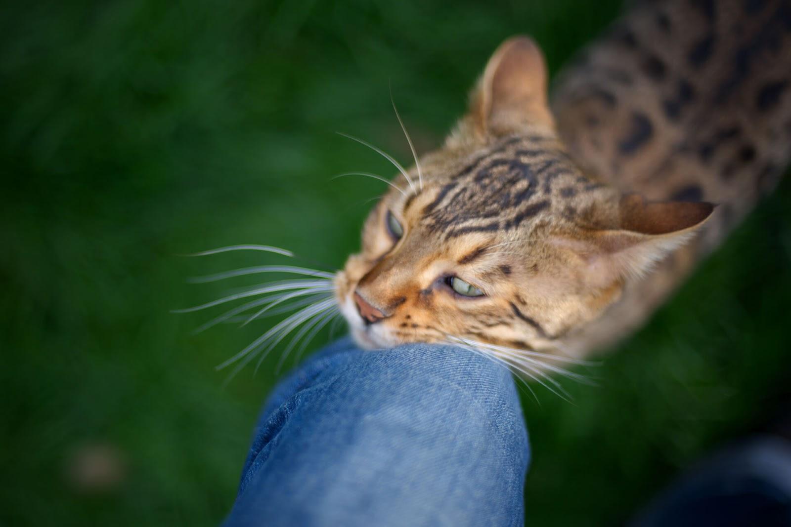 Cat rubbing its cheek against a human's leg