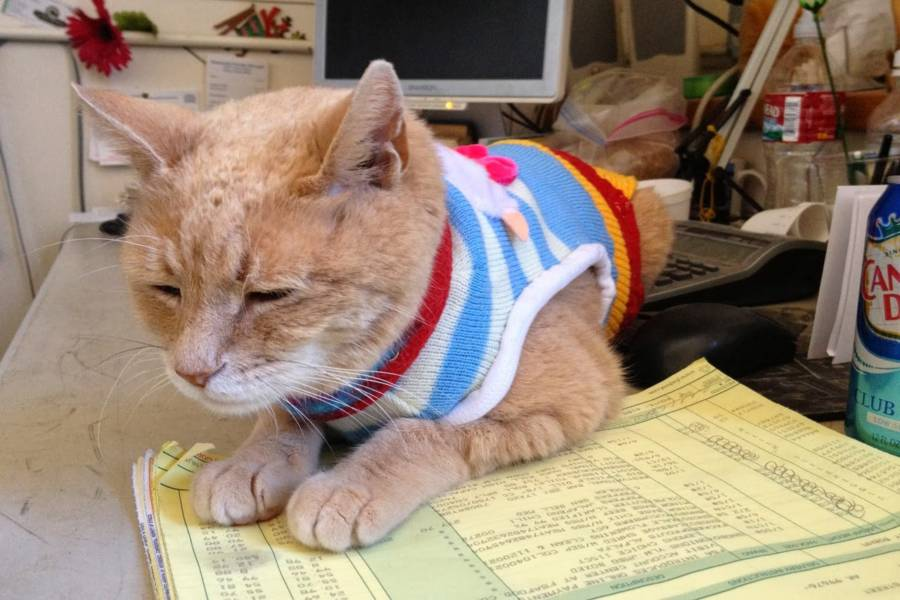 Mayor Stubbs the cat lounging on his desk