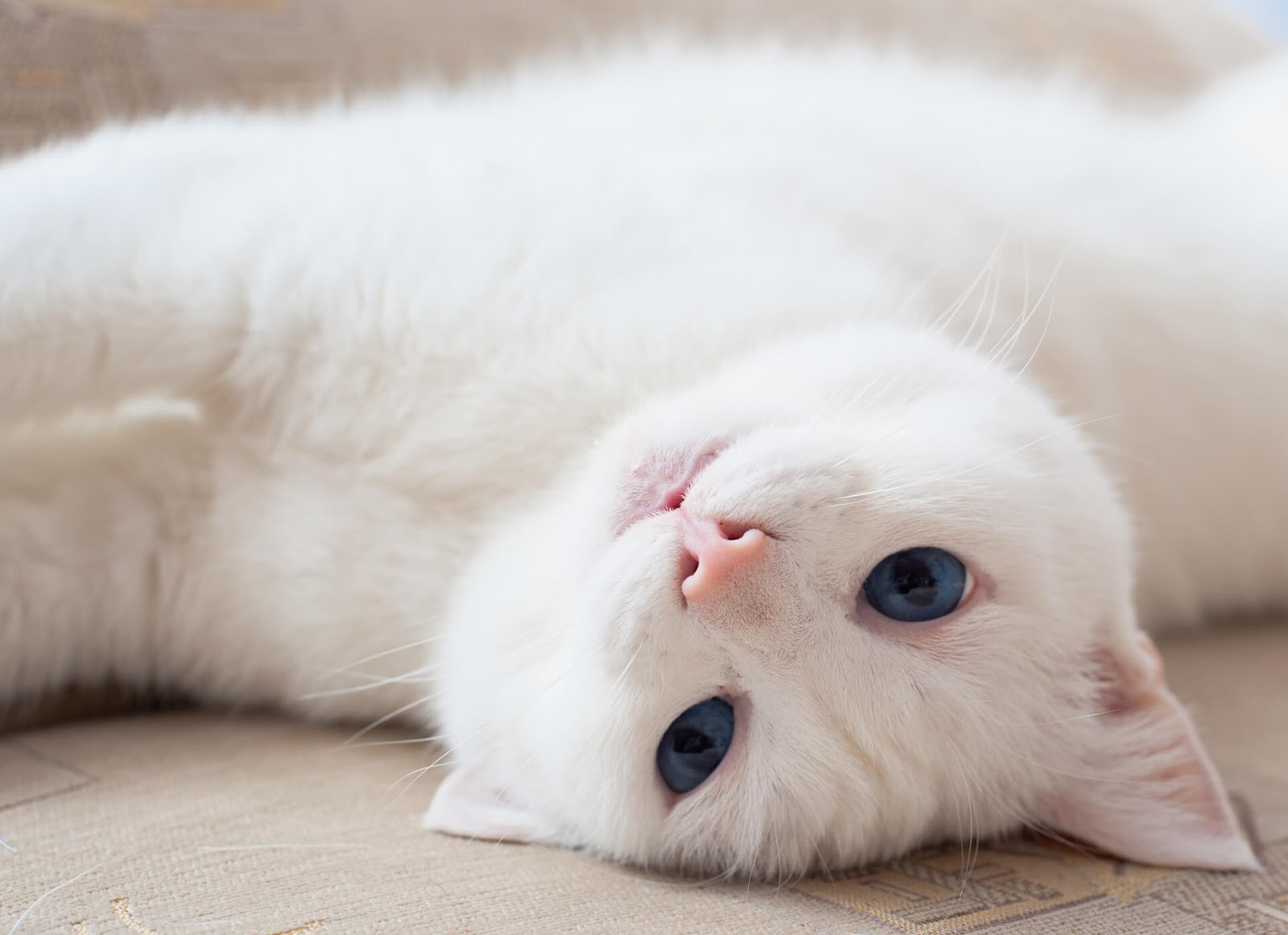 Blue-eyed, white cat rolling on her belly, looking at the camera