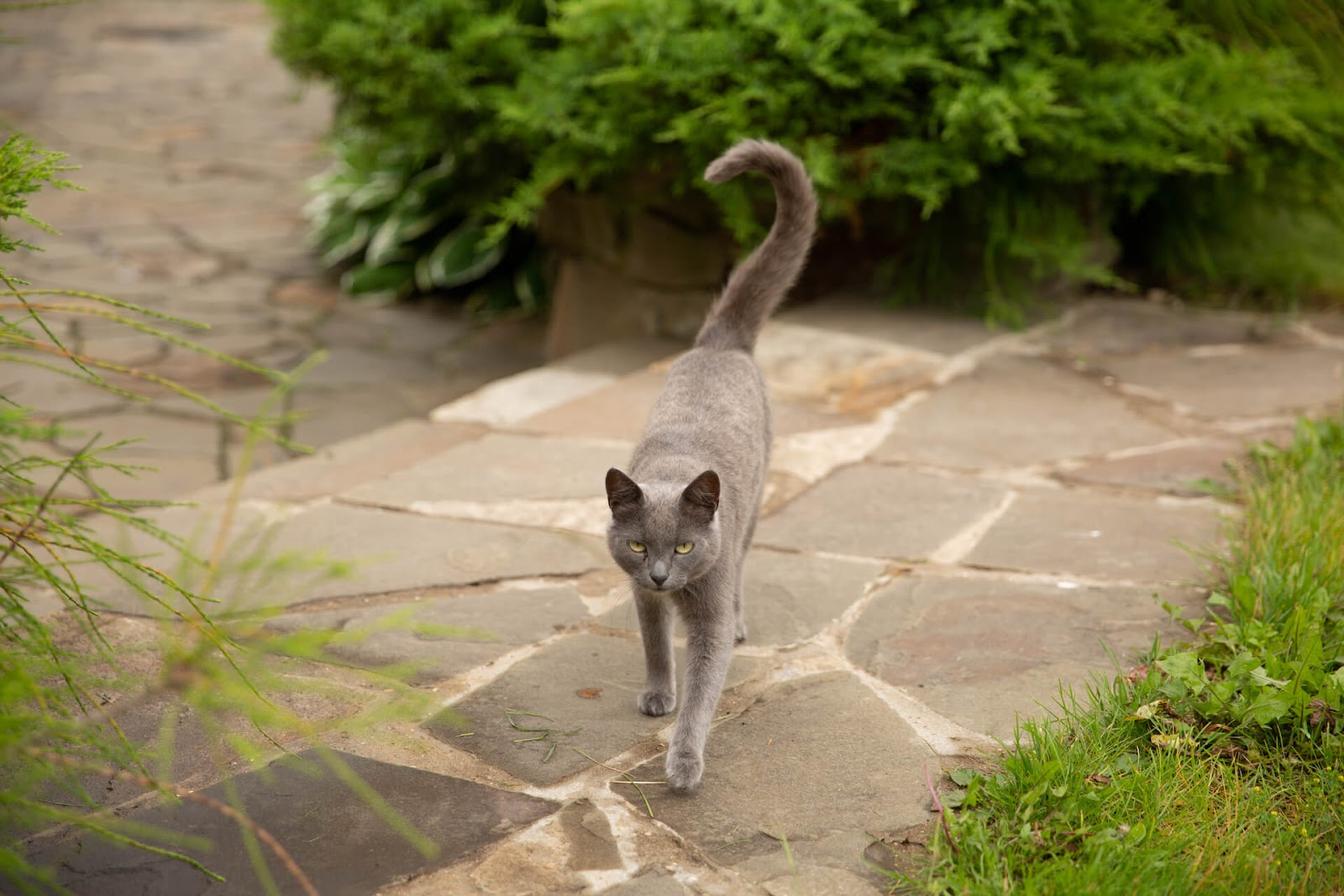 Cat with a curved tail walking towards the camera