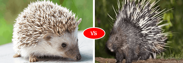 Hedgehog and porcupine next to each other