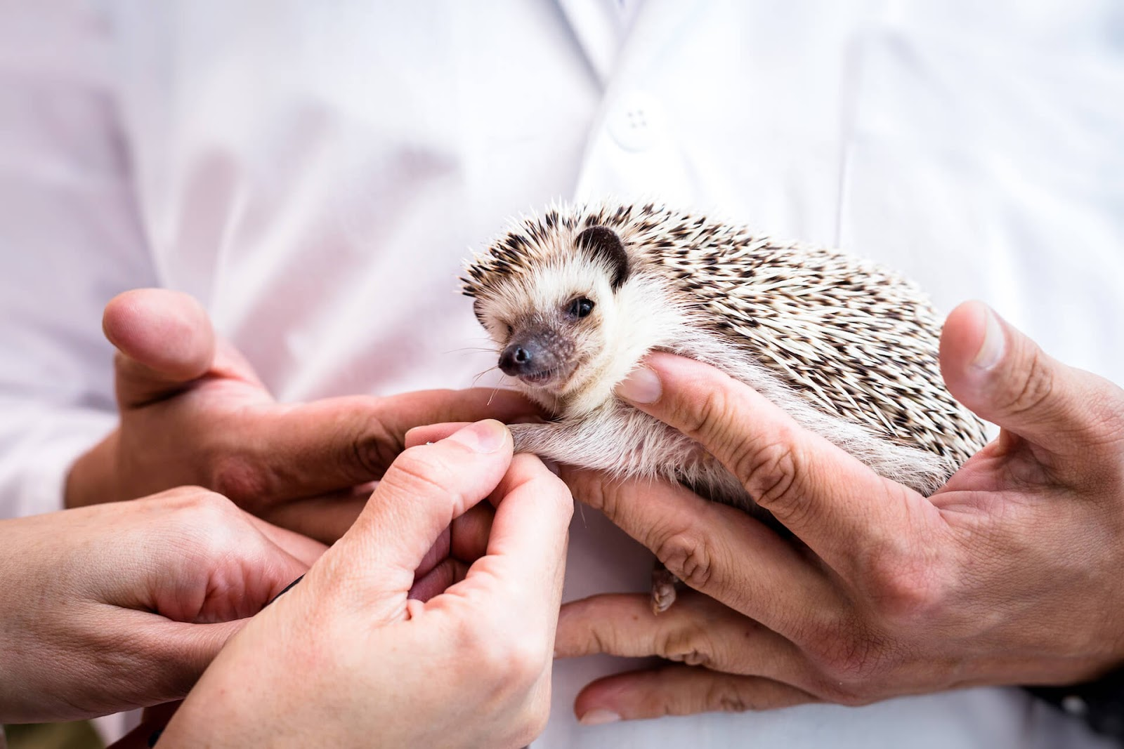 Vet holding a sickly looking hedgehog