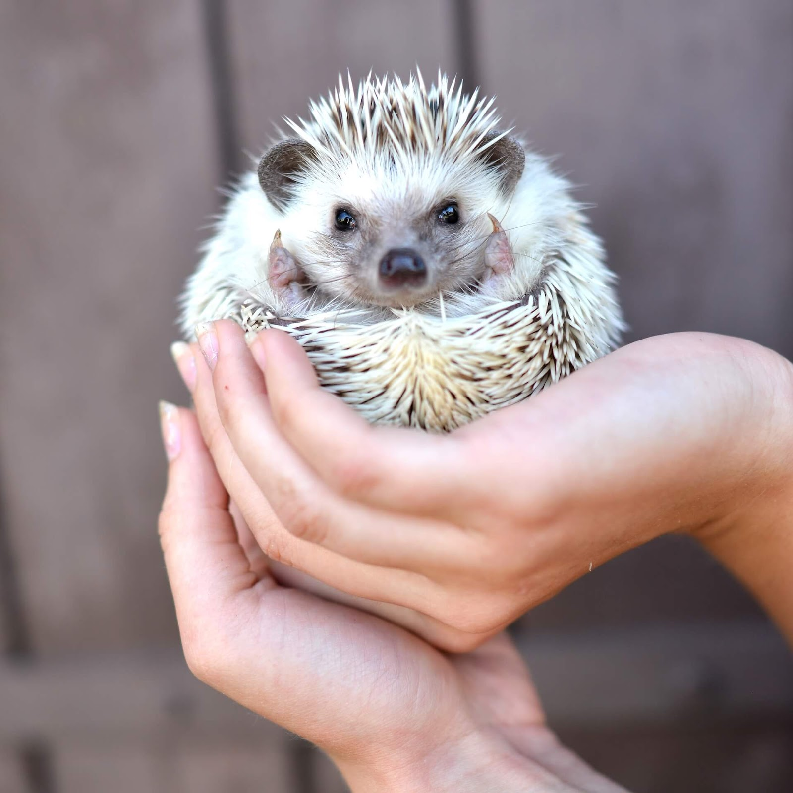 Woman holding a curled up hedgehog