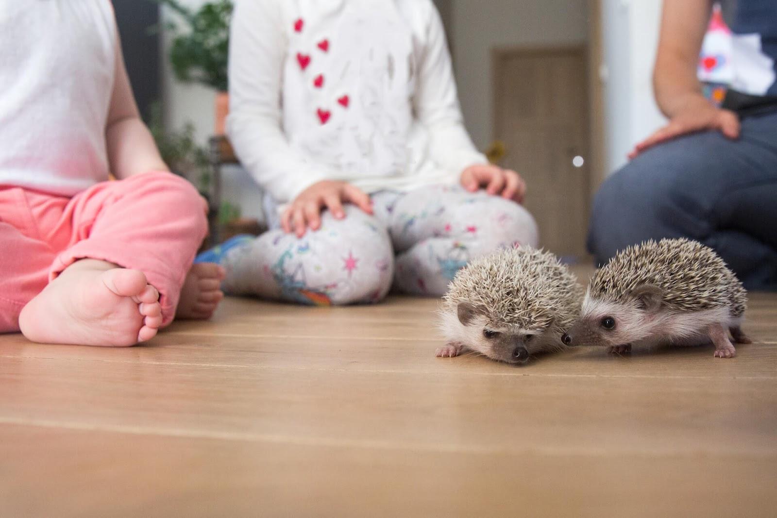 Children watching two pet hedgehogs crawl around the floor