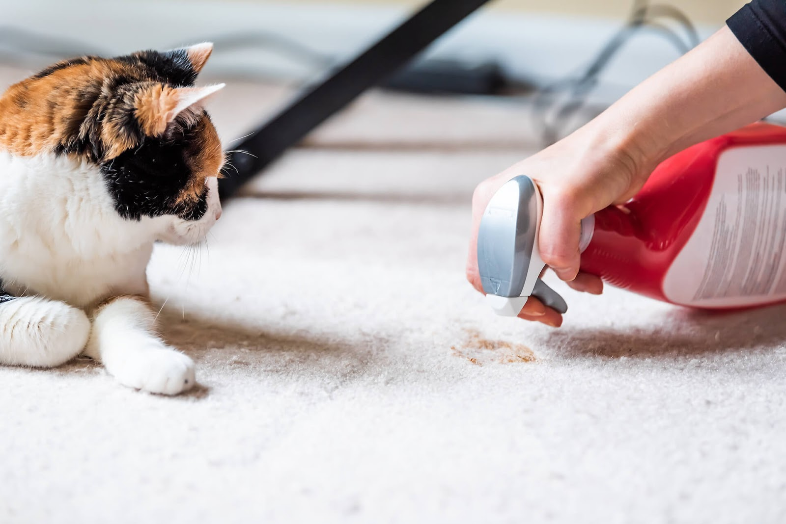 Woman using a product to clean up cat urine from the carpet