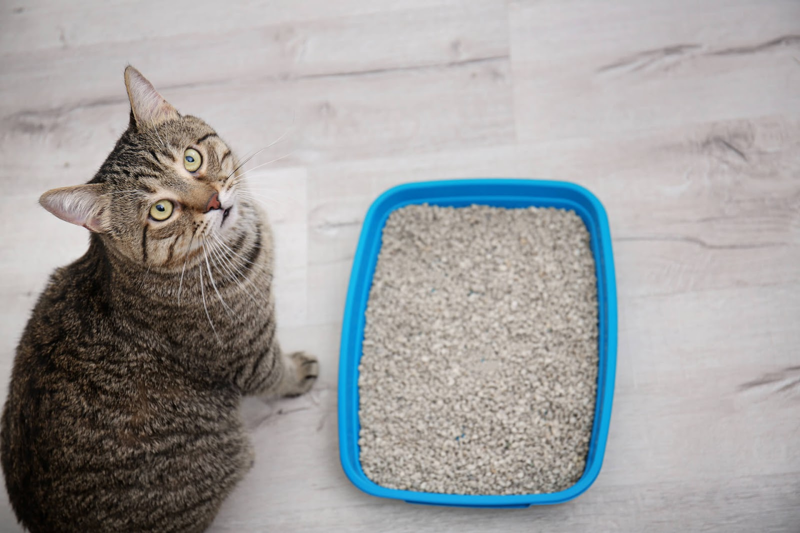 Cat looking at the camera next to a clean litter box