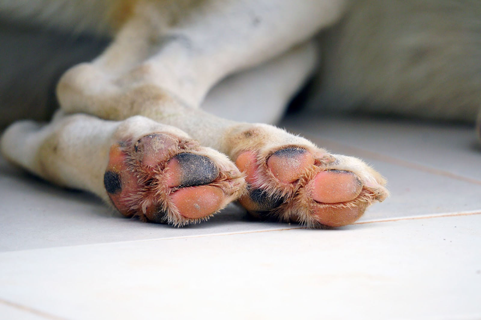 Dog with burned paws