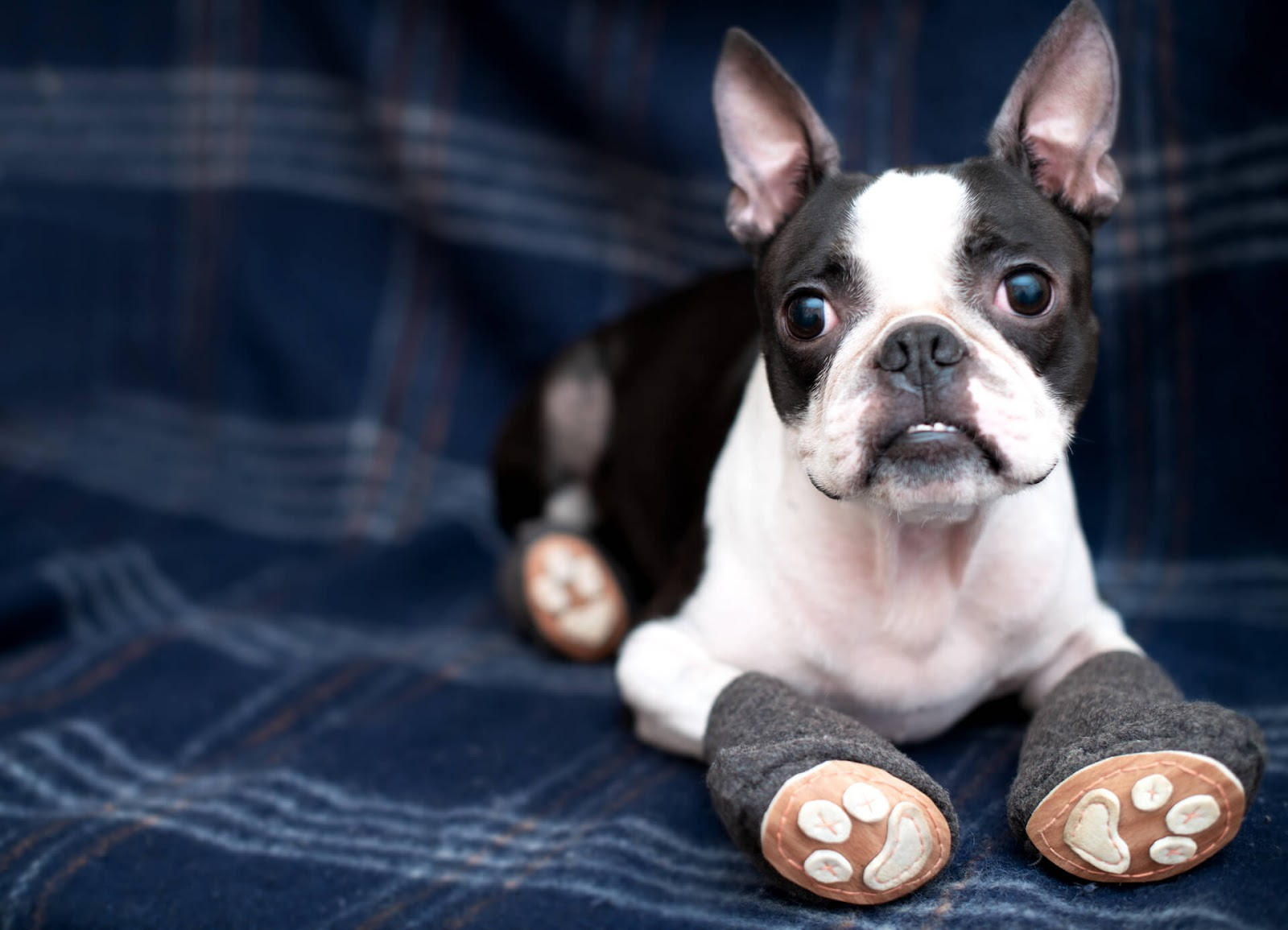 Boston terrier with cute, homemade dog shoes on