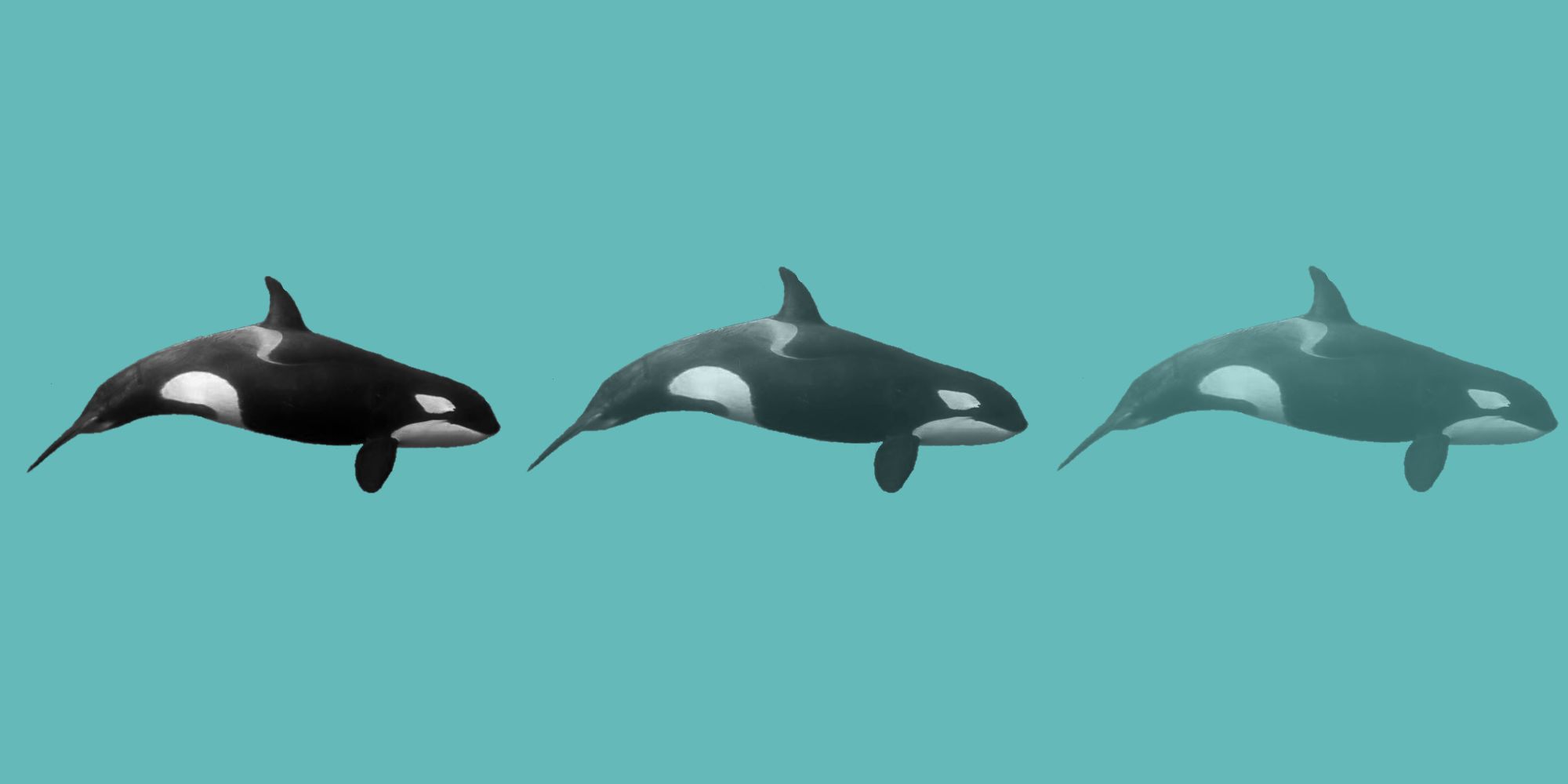 Why the Southern Resident Killer Whales are Dying