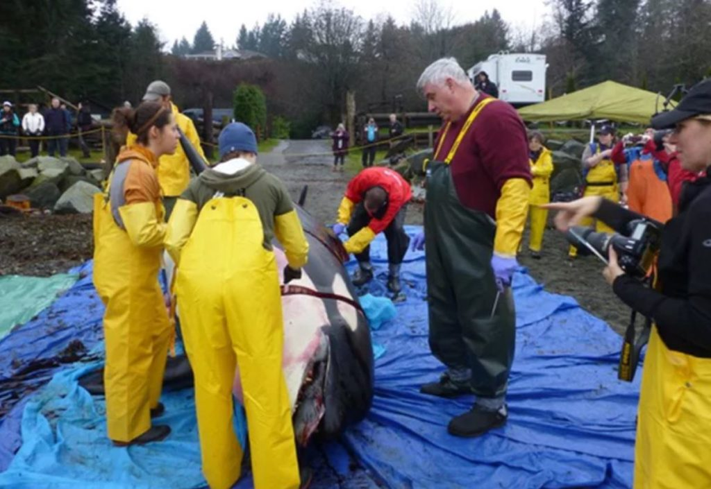 5 people in waterproof clothing performing necropsy on killer whale with cordoned off crowd watching in distance.