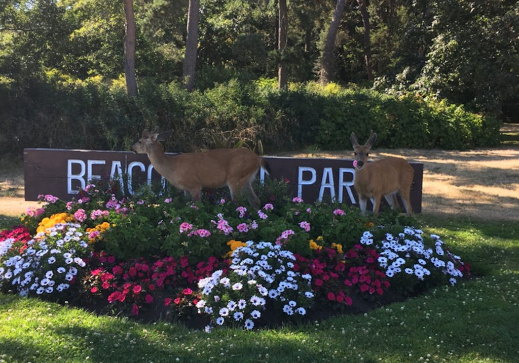 Two deer stood in the middle of a bright floral display at Beacon Hill Park.