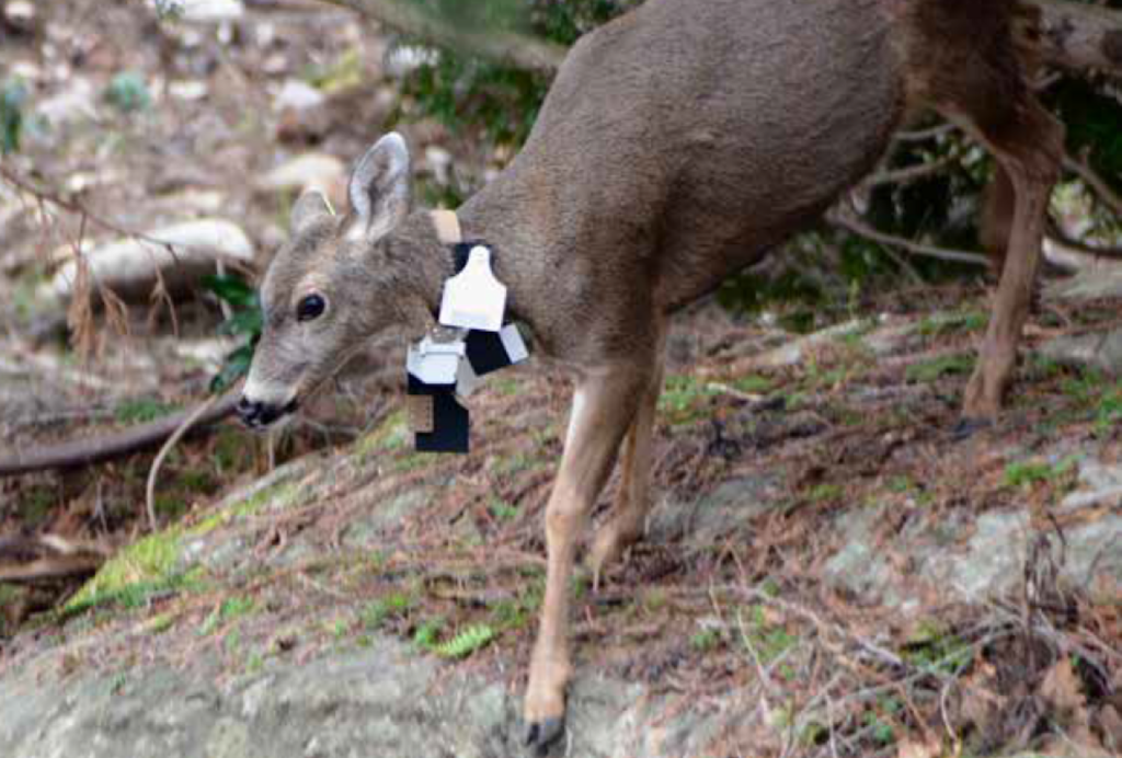 Oak bay deer with a research collar in forest.