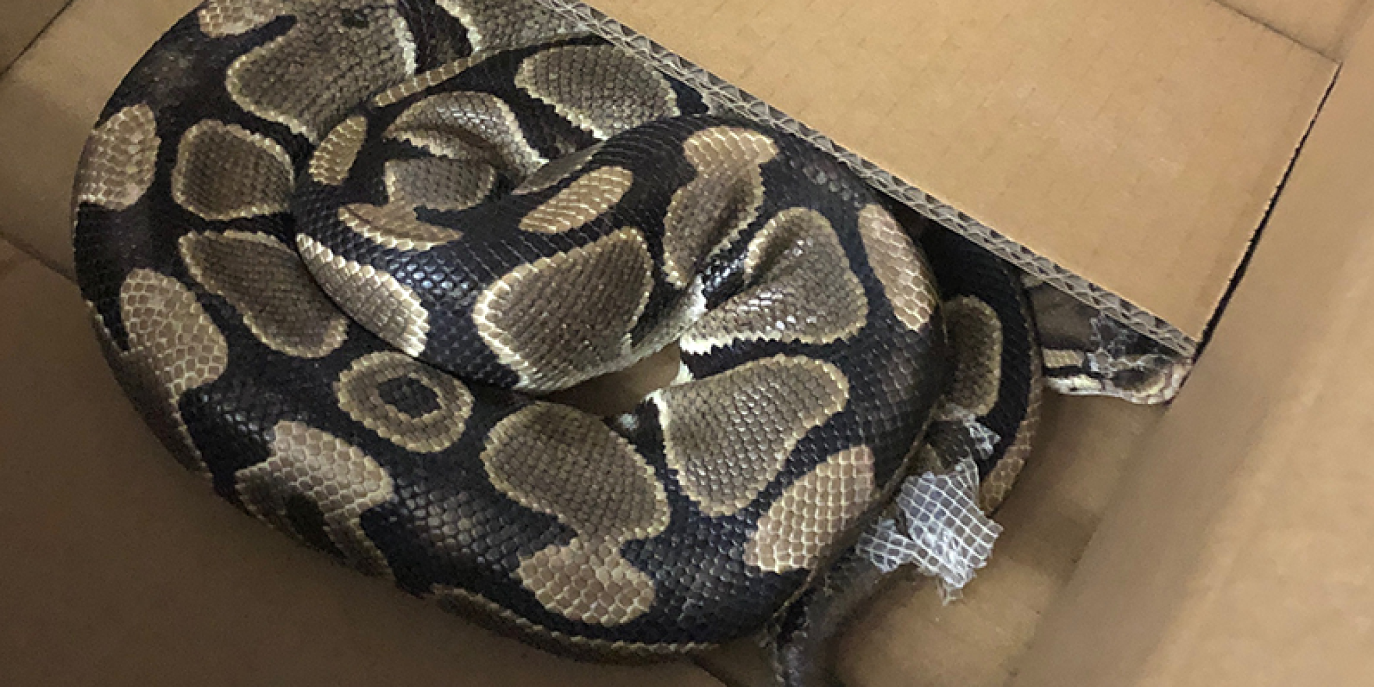 Can you really just have a python live in your backpack?