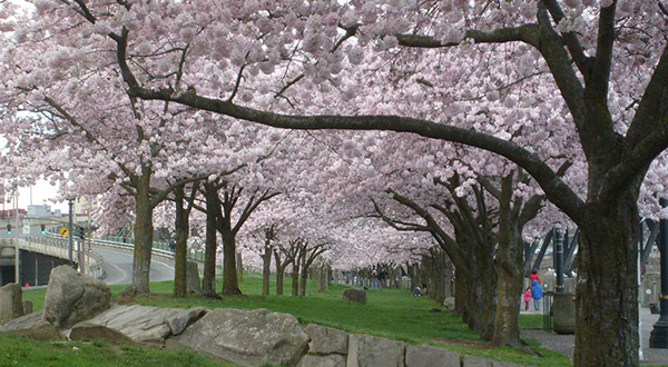 Cherry trees with pink blossoms on green grass next to sidewalk and river