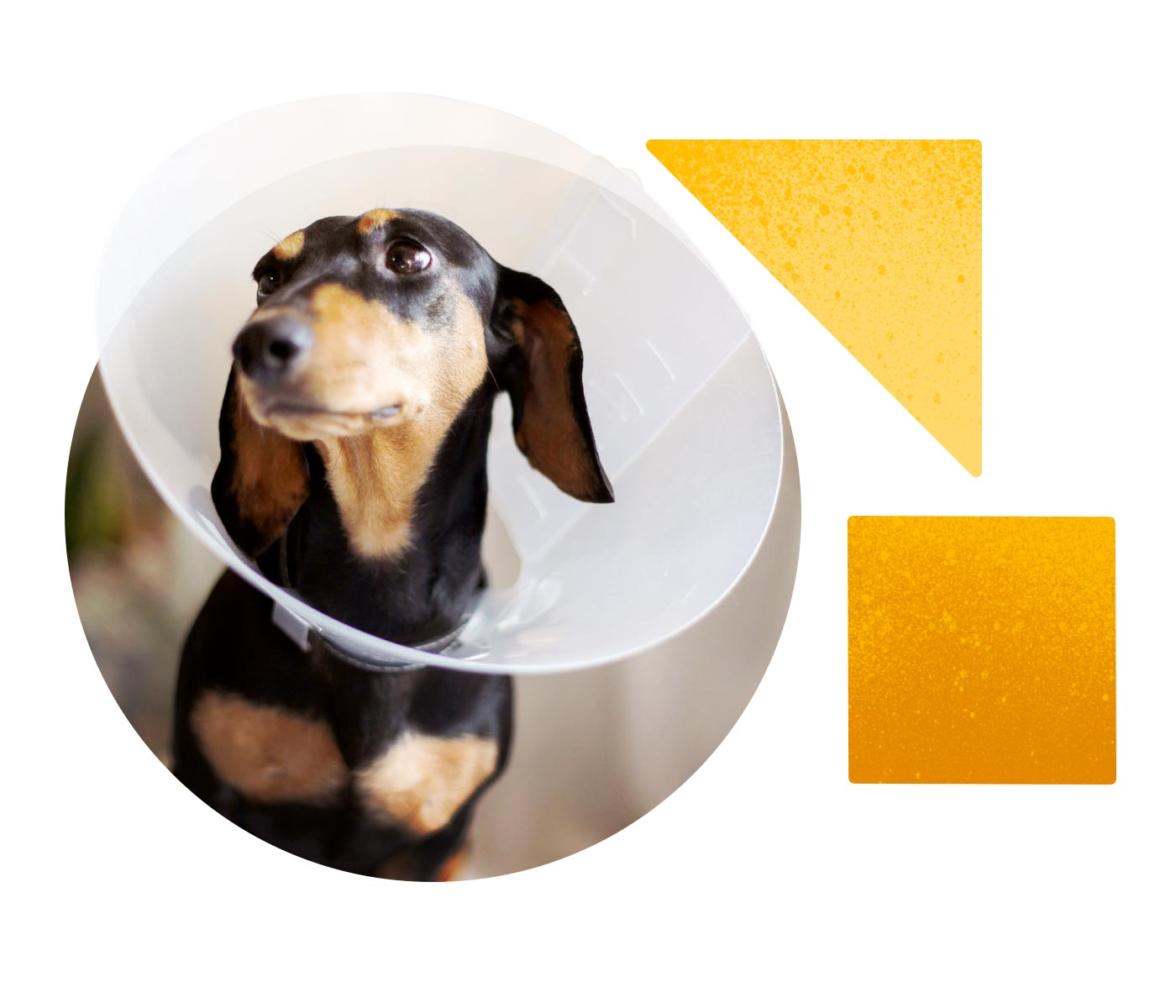 A timid dachschund leans forward with a plastic cone around his head, as if he just got back from the vet and needs a comforting chin scratch.