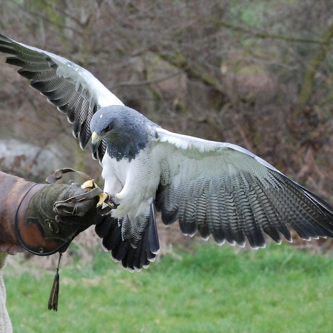 Niederwald Falconry Centre