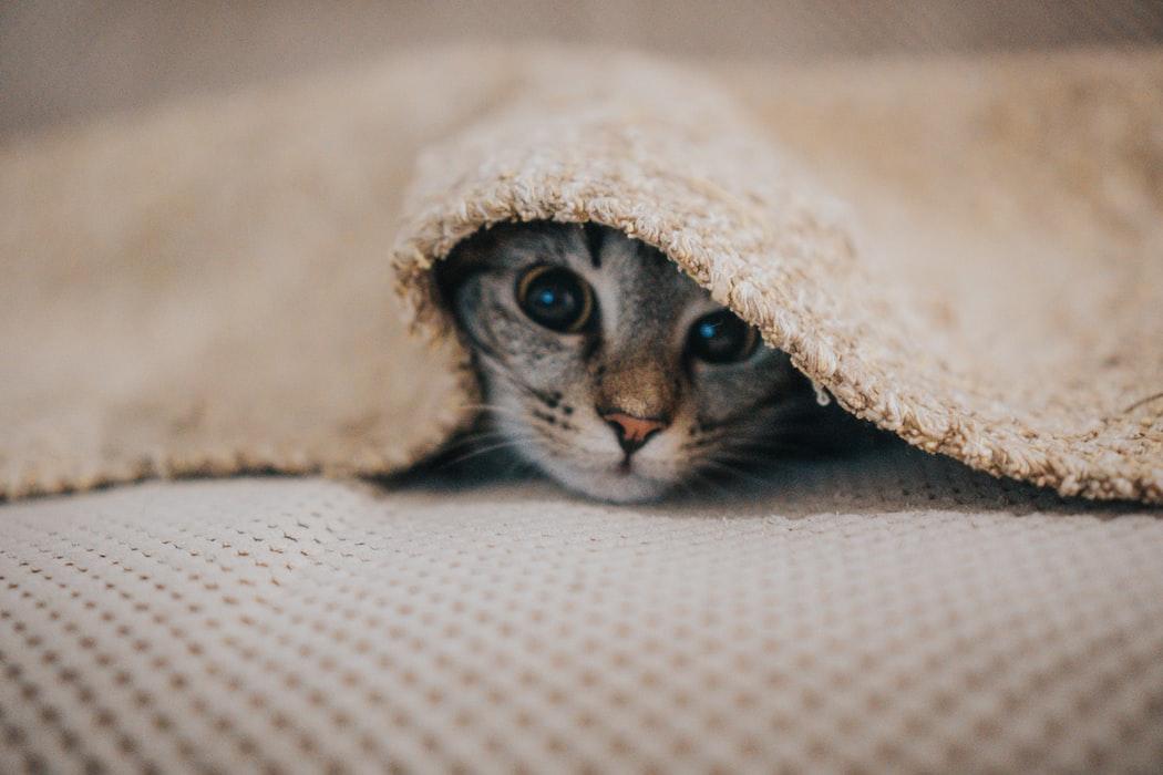Kitten hiding under blanket
