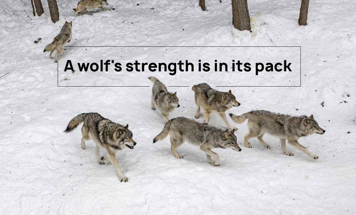 A wolf's strength is in its pack