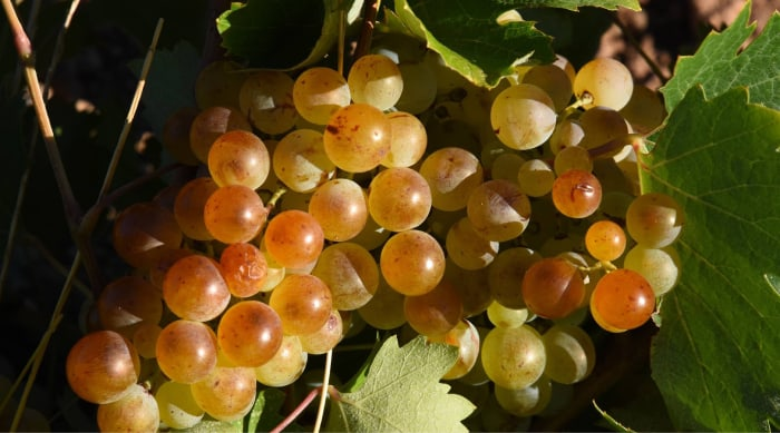 moscato wine: A Brief History of the Muscat Grape