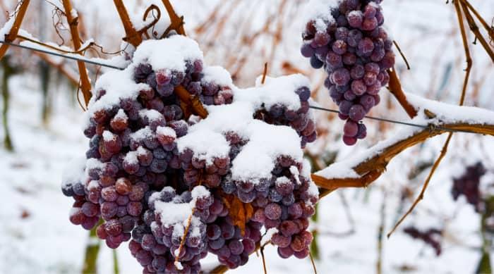 What is true ice wine?