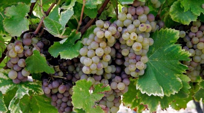 Dry wine: Semillon