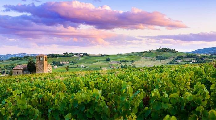 White Burgundy Wine: Chablis vineyard