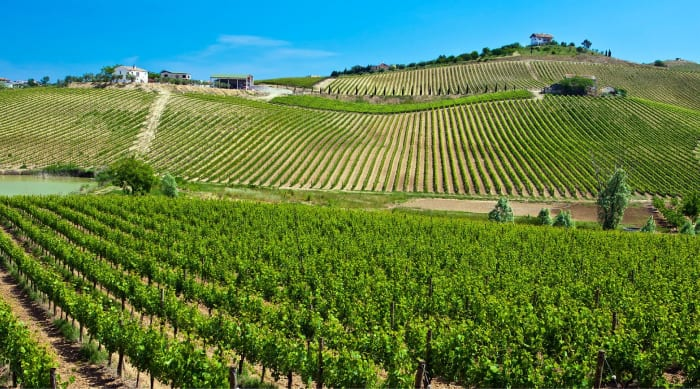 """What is """"Montepulciano"""" and where does it grow?"""