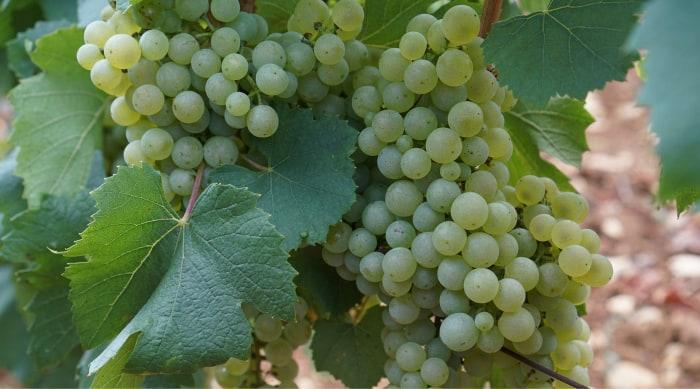 The Montrachet Wine Region