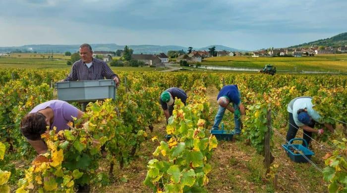 Montrachet Terroir and Viticulture