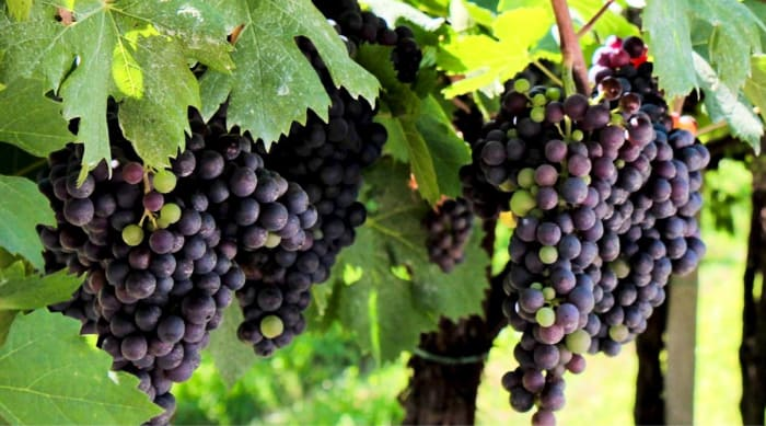 Grapes Used To Make Amarone Della Valpolicella Wine