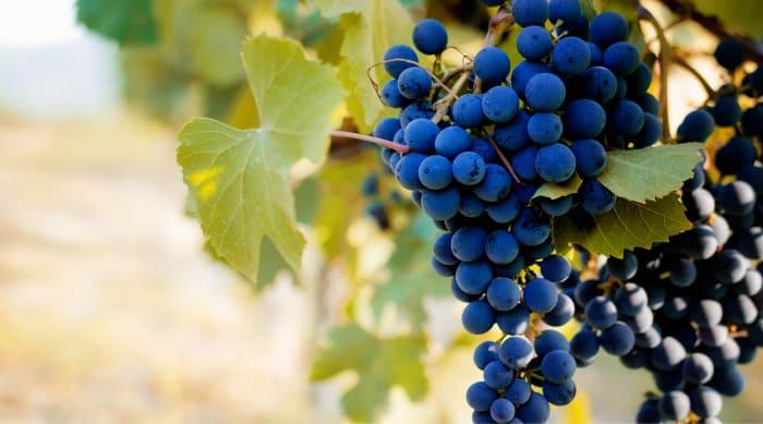 The Barbera Grape and Wine