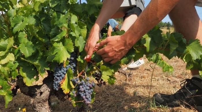 The Grenache Grape and Viticulture