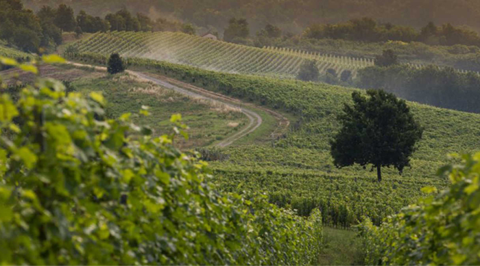 Barbera Grapes: Climate and Terroir