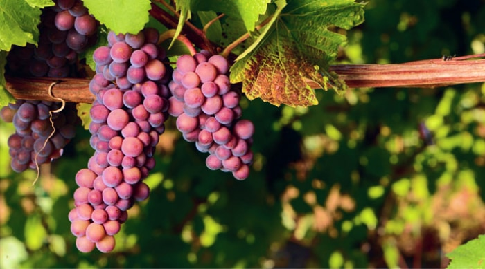 Pinot Gris - A Grape With Many Names