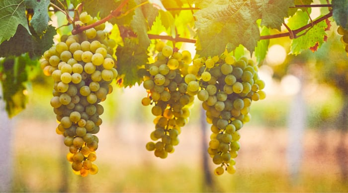The Viognier Grape - Not an Easy One to Grow!