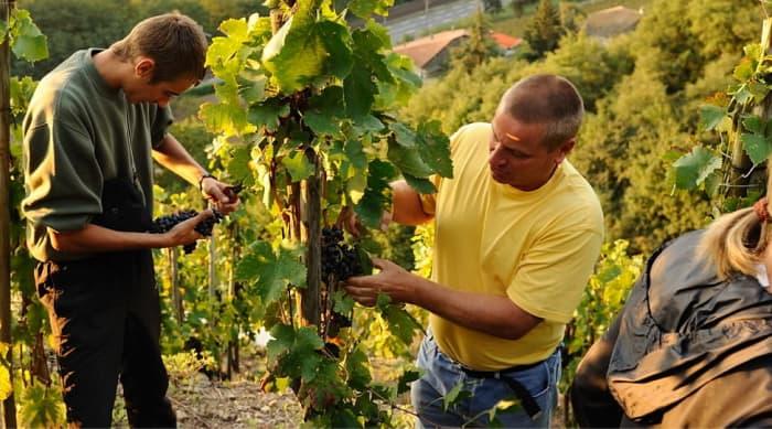 Winemaking in Condrieu