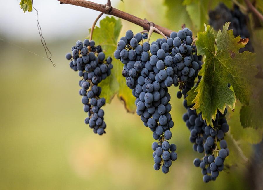 Sagrantino Grapes