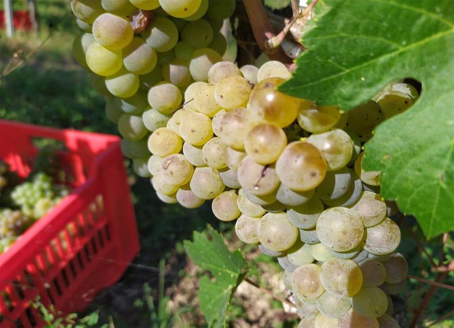 Arneis Grapes