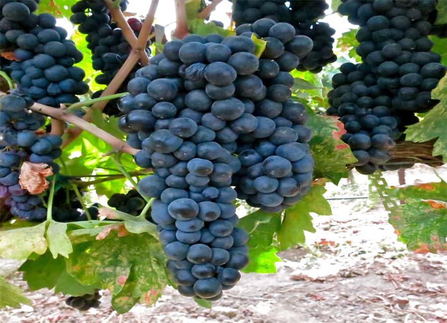Primitivo Grapes